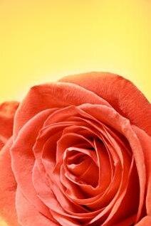 rosa de regalo rosa