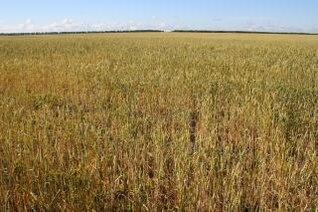 trigo, el cultivo a campo