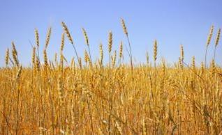 El trigo, el cultivo