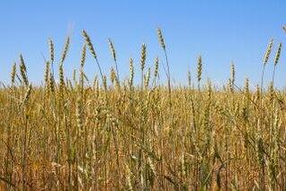 trigo, los campesinos