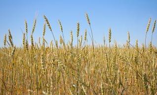 trigo, la cosecha del oído