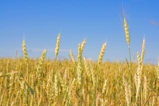 trigo, el valor