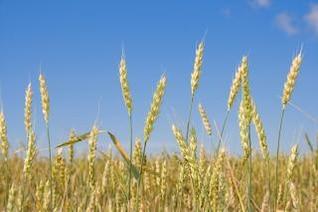 de trigo grano