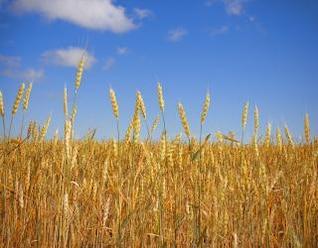 trigo de verano