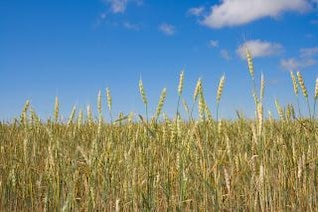 trigo, el centeno