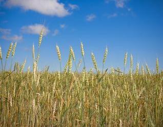 el trigo del cielo