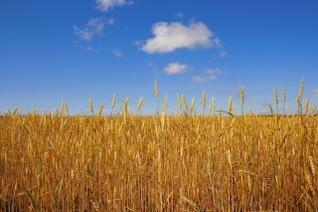 el trigo de trigo