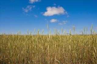 trigo en grano