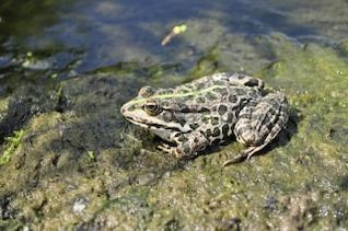 la rana animales
