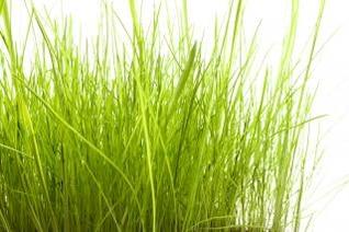 hierba blanca