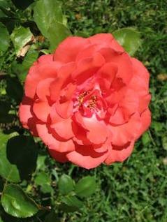 rosa roja flor