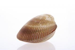 concha de mar costa