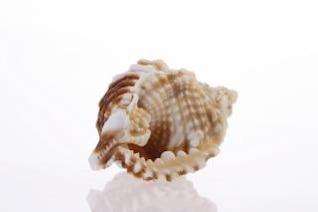 Concha, coral