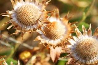 día flor seca