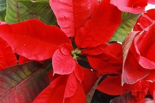poinsettia roja decorativa