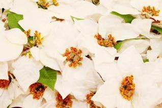 blanca navidad flores