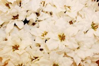 blanca flor de pascua