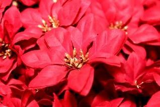 roja flor de pascua