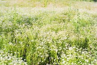 chamomiles verano