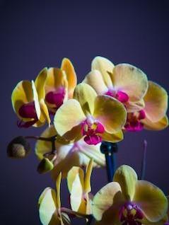 orquídeas flores
