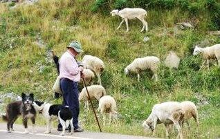 los agricultores con las ovejas y los perros