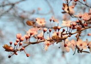 la flor de cerezo botánica