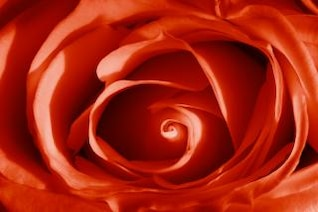 rosa rojo vibrante