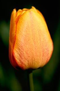 naranja tulipán magnífico