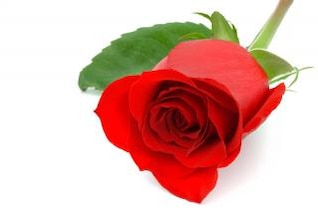 rosa roja close up colorido
