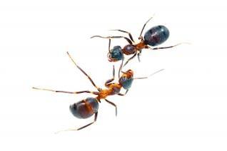 hormigas closeup