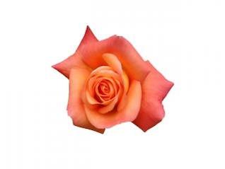 rosa roja rosa roja