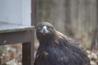 plumas de halcón pico de halcón