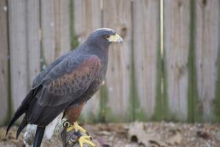 halcón plumas de halcón pico