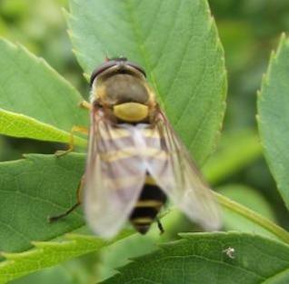 se trata de una abeja o un insecto algunos