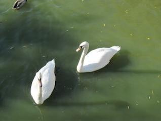 cisnes en un lago