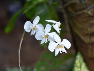 orquídeas blancas flores