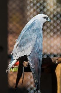 halcón plumas de aves rapaces