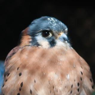 halcón depredador cazador
