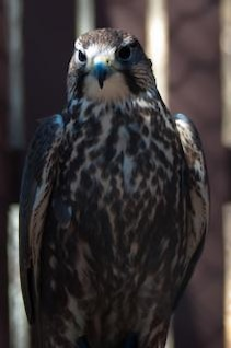 halcón rapaz cazador plumas