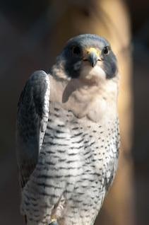 halcón rapaz depredador