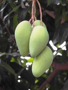 montón de mangos