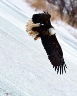 calvo halcón águila