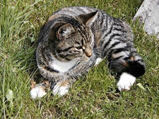 un gato acostado en el pasto