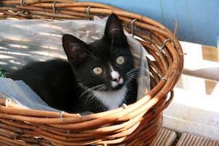 gato negro, la cesta