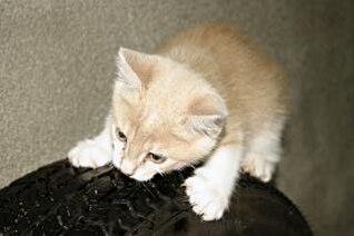 naranja gatito, mascota