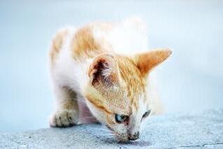 gato blanco y naranja