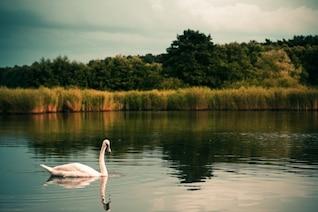 Cisne en el lago foto gratis