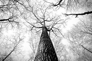 Árboles altos en blanco y negro