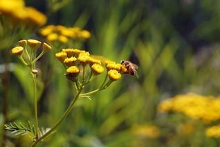 Abeja en busca de un poco de néctar
