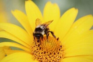 Abeja que recoge el polen